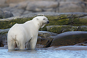 We were traveling in a Zodiac looking for polar bears on the coast of Svalbard when I looked over and something was swimming by.  It was a Polar Bear!  We followed far enough away not to disturb it. Eventually she found a small island she liked.