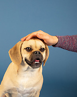 Portrait of young adorable puggle loving head rubs from his owner