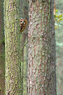 Tawny owl, Strix aluco, peering from behind tree, Peak District, UK