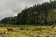 Wild ponies in Bellever Forest at the Dartmoor National Park.