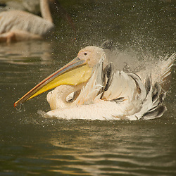 Pelican splashing with its wings