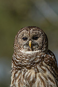 Barred owl at the Center for Birds of Prey November 15, 2015 in Awendaw, SC.