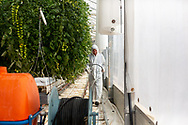 A worker spraying tomatoe plants with an organic pesticide at The Sahara Forest Project on the outskirts of Aqaba, on Jordan's southern Red Sea coastline. The farm uses desalinated sea water and greenhouses to sustainably farm crops in land that was once aris desert.