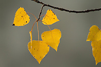 """Birch Leaves"".Yellow leaves of a gray birch (Betula populifolia).  Fall views at Walden Pond."