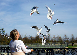 © Licensed to London News Pictures. 31/10/2014. Hampton, UK. A woman feeds Gulls as they fly at the Long Walk water course at Hampton Court Palace.  People enjoy the warm weather at Hampton Court Palace today 31st October 2014. forecasters are predicting It could be the warmest halloween on record. Photo credit : Stephen Simpson/LNP