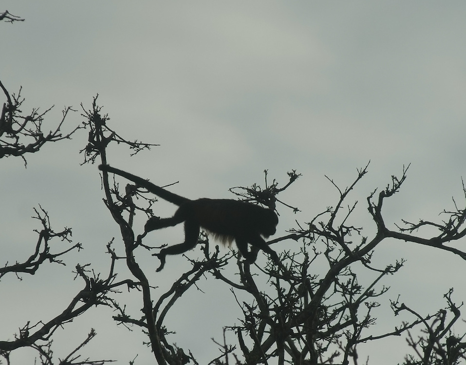 A Mantled howler monkey silhouetted against the sky, grasping with its prehensile tail as it leaps from branch to branch.