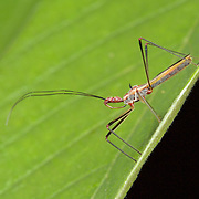 """Assassin Bug (Reduviidae). Reduviidae (from the contained genus, Reduvius, which comes from the Latin reduvia, meaning """"hangnail"""" or """"remnant"""") is a family of predatory insects in the suborder Heteroptera."""