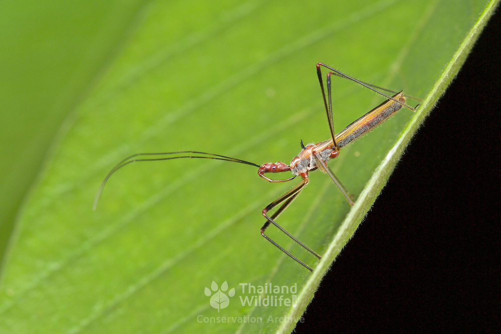 "Assassin Bug (Reduviidae). Reduviidae (from the contained genus, Reduvius, which comes from the Latin reduvia, meaning ""hangnail"" or ""remnant"") is a family of predatory insects in the suborder Heteroptera."