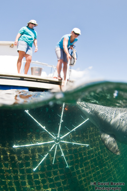 Ho'olono assists Hawai'i Institute of Marine Biology researchers with studies on marine mammal hearing.
