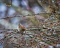 White-throated sparrow in the vines after a morning rain. Late winter backyard nature in New Jersey. Image taken with a Nikon D300 camera and 80-400 mm VR lens (ISO 500, 400 mm, f/5.6, 1/250 sec).