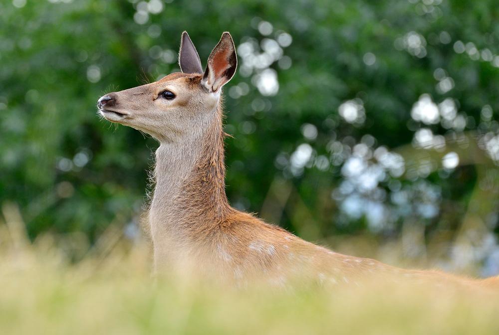 Red Deer - Cervus elaphus - female
