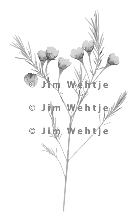 X-ray image of a waxflower (Chamelaucium uncinatum, black on