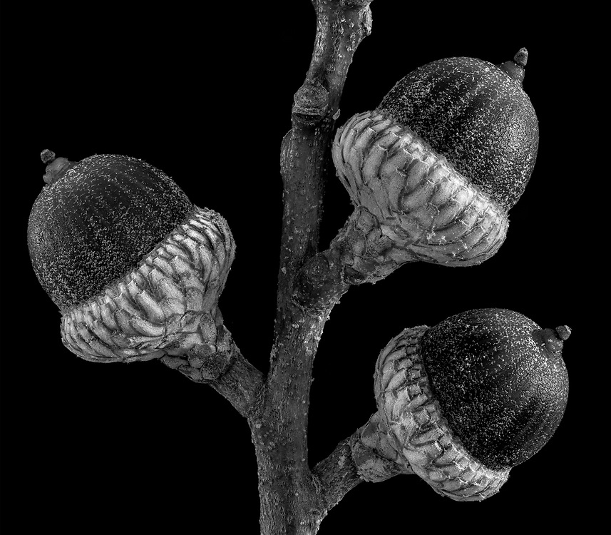 Three Acorns was photographed in the Fall of 2015 using advanced focus stacking. The image won 1st place in the professional &ldquo;Black and White&rdquo; category at the 2016 Art in Nature Photo Competition at the Ward Museum in Salisbury, Maryland.<br />