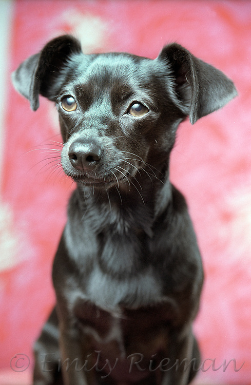 small black dog in front of pink background