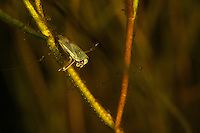 Water boatman, family Corixidae, sitting in an aquatic plant underwater, Danube Delta, Romania. Water boatmen are an aquatic insects that inhabit ponds and slow moving streams, where they swim near the bottom. There are about 500 known species worldwide, in 33 genera.