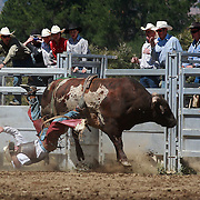 Brent Gillespie from Wanaka is thrown from his bull during the Open Bull Ride at the Wanaka Rodeo. Wanaka, South Island, New Zealand. 2nd January 2012