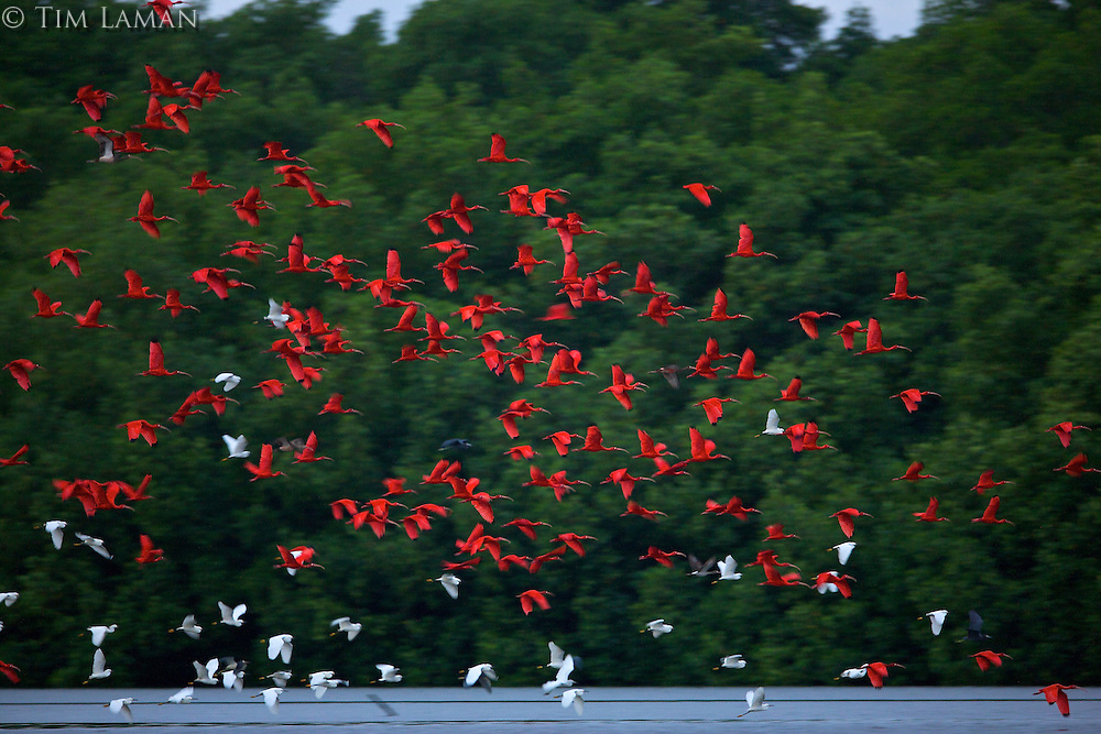 Scarlet ibises flying out from  their mangrove roosting trees before sunrise in the Caroni Swamp.  Some snowy egrets are also present.