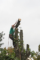 A tree surgeon attached to a tree  with the top of the tree falling off