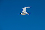 Royal Tern (Thalasseus maximus)<br /> Little St Simon's Island, Barrier Islands, Georgia<br /> USA<br /> HABITAT &amp; RANGE: Coastlines of Europe, Africa, the Americas, and the Caribbean islands.