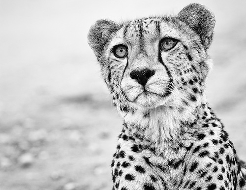 Photography cheetah black and white