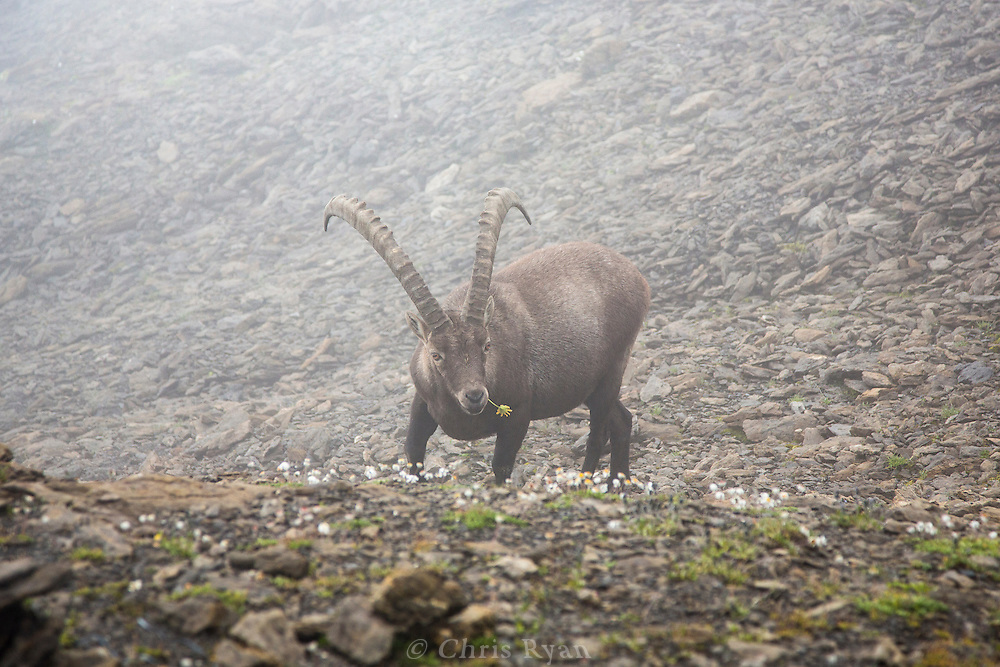 Ibex chewing a flower, Via Alpina, Swiss Alps