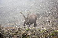 Ibex chewing a flower, Via Alpina, Swiss Alps