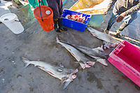 Grey Shark catch being off-loaded at the harbour, Struisbaai Harbour, Struisbaai, Western Cape, South Africa