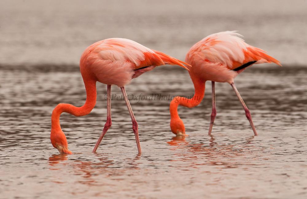 Greater Flamingos Feeding<br /> Phoenicopterus ruber<br /> Floreana Island, GALAPAGOS. ECUADOR<br /> South America