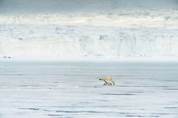 Polar bear (Ursus maritimus) with a cub in front of glacier in Spitsbergen, Svalbard