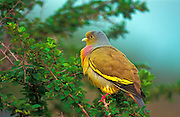 Orange Breasted Green Pigeon ( male)
