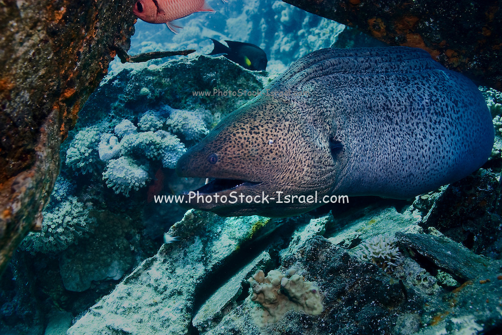 Giant moray eel (Gymnothorax javanicus) comming out from under a shipwreck. The giant moray eel is the largest of the moray eels. It is found in the Indo-Pacific region, and reaches up to 3 metres in length. Here, only the head and front part of its elongated body is visible. Photographed in the Red Sea, Sinai, Egypt.