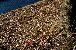 Vliegenzwam, Amanita muscaria