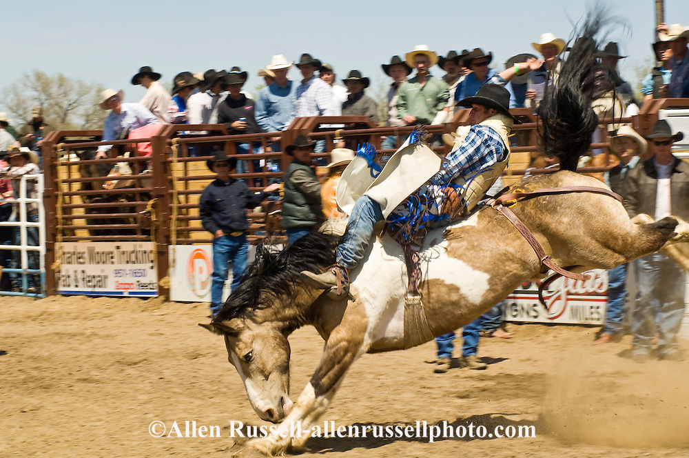 Rodeo, Bareback Bronc rider, Miles City Bucking Horse Sale, Montana