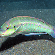 Slippery Dick constantly swim about reefs and adjacent sand areas and sea grass beds in Tropical West Atlantic; picture taken St. Lucia.