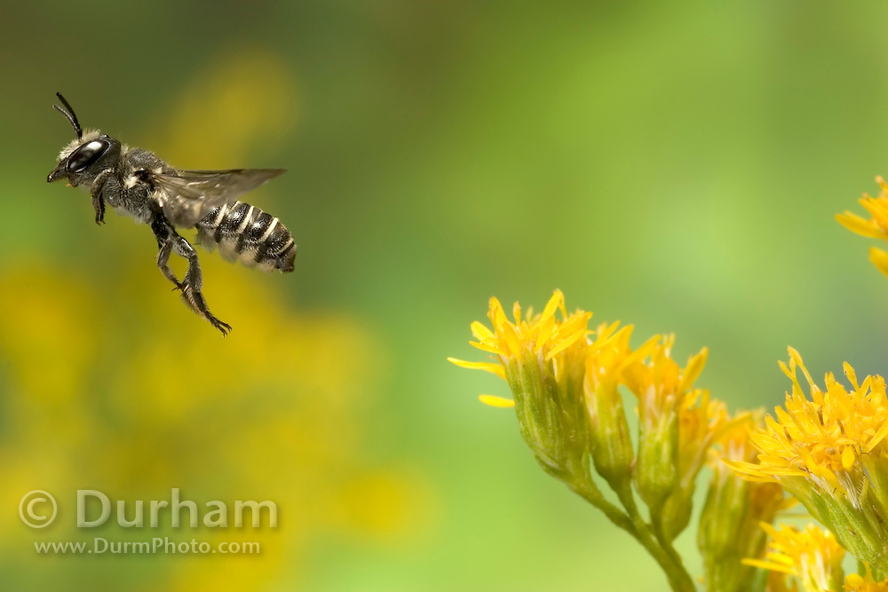 A tiny leafcutter bee (Genus: Megachile, possible subgenus: Chelostomoides) departs a goldenrod flower (Solidago sp.) after collecting nectar and pollen.