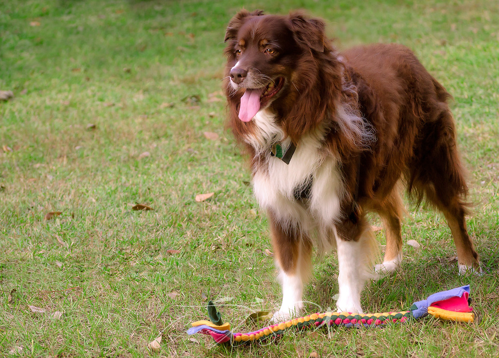Cowboy, a red tri Australian Shepherd, stands with a braided tug toy, October 29, 2015, in Coden, Alabama. (Photo by Carmen K. Sisson/Cloudybright)