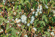 Cotton plant with flowers and cotton. Photographed in Israel in September