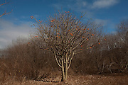 Salinas_MG, Brasil...Arvore tipica do nordeste, Imburana Cambao (Bursera leptophloeos)...Typical tree in northwest Imburana Cambao(Bursera leptophloeos)...Foto: LEO DRUMOND / NITRO