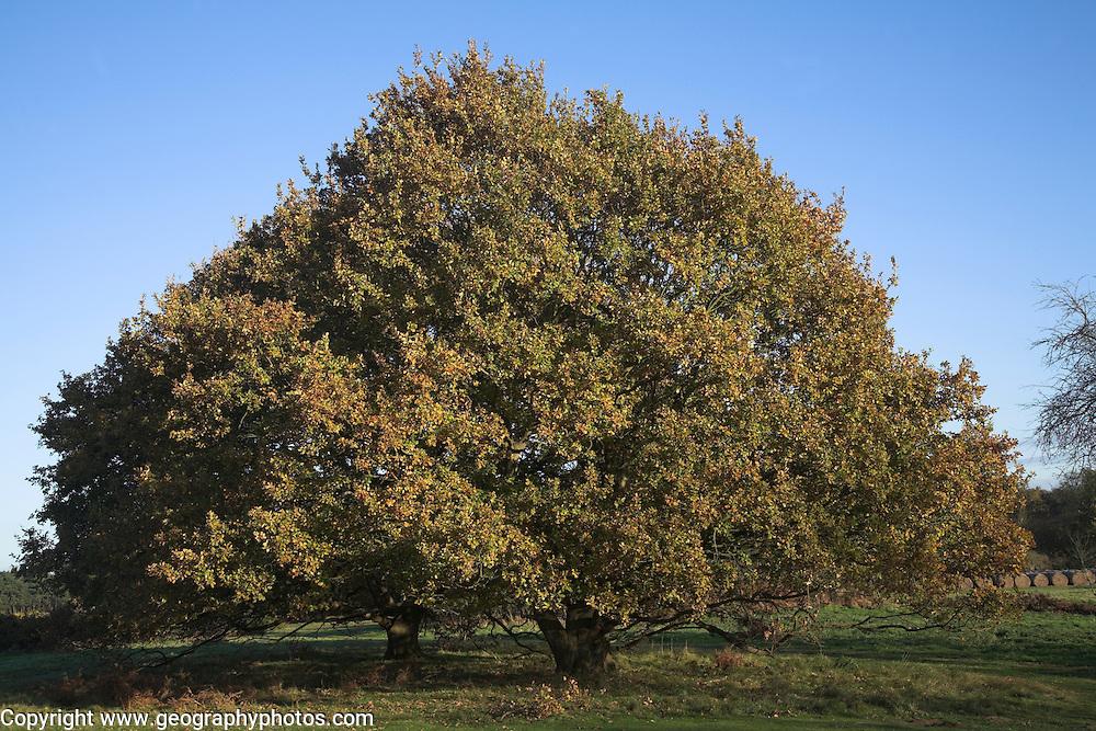 Quercus robur English oak tree in autumn growing on Tunstall Common, Suffolk, England