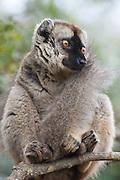 Common Brown Lemur <br /> Eulemur fulvus<br /> Madagascar, Africa