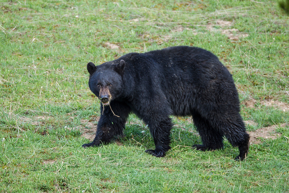 Wyoming black bear during sprring in Yellowstone National Park