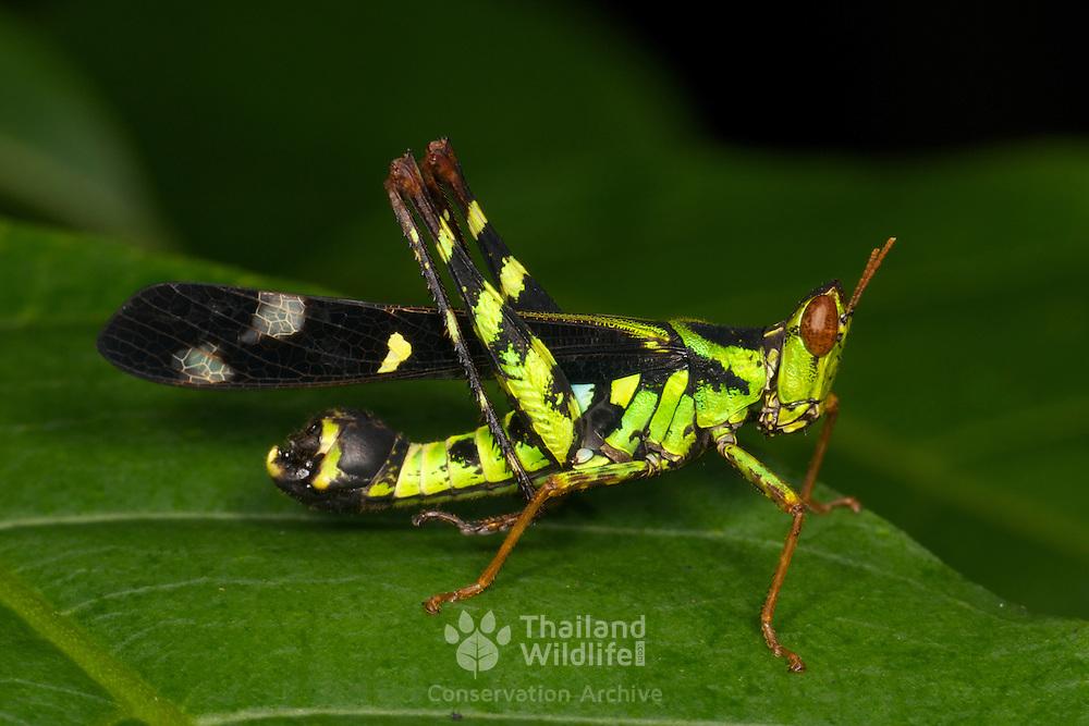 Spot Monkey-grasshopper - Eumastacidae Erianthus serratus.