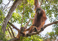 A wild female Bornean orangutan with baby (Pongo pygmaeus) in the tree canopy in Tanjung Puting National Park, Borneo, Indonesia.