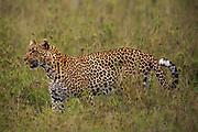 Leopard in Serengeti