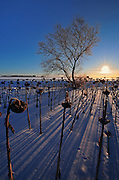 Sunflowers at sunrise in winter<br />Anola<br />Manitoba<br />Canada