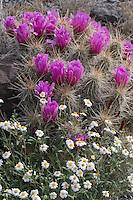 Plains Black-foot Daisy, (Melampodium leucanthum),  and Strawberry Cactus  (Echinocereus  enneacantus), Big Bend Ranch State Park, Texas