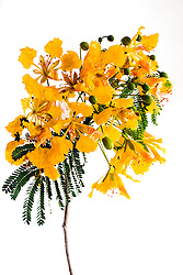 Royal Poinciana -yellow#37