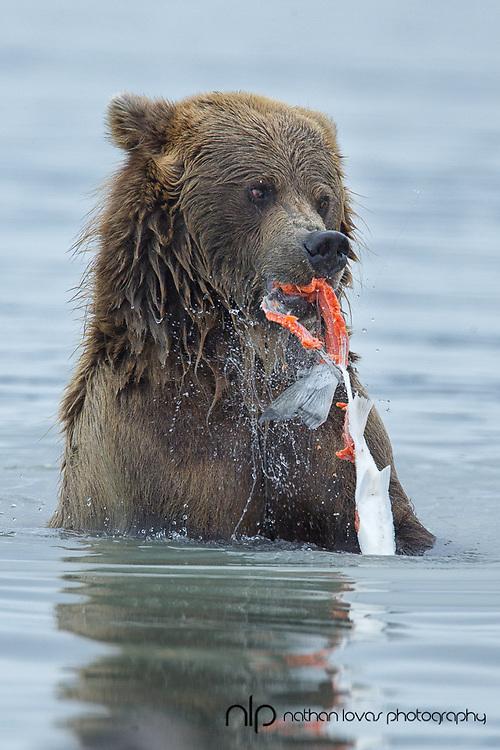Brown bear eating salmon while wading in water;  Lake Clark, Alaska in wild.