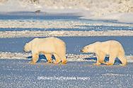 01874-12310 Polar bear (Ursus maritimus) mother and cub walking on frozen pond, Churchill Wildlife Management Area, Churchill, MB Canada