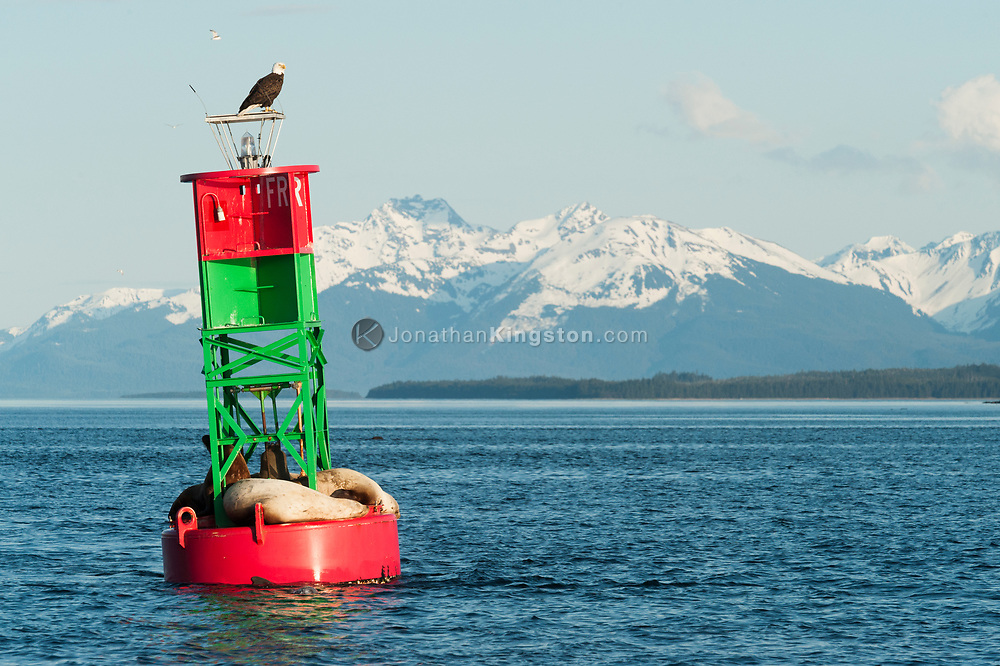 Bald eagle and sea lions resting on a buoy near Juneau, Alaska.